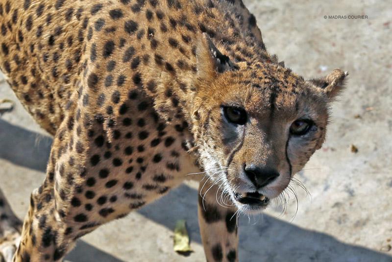 Asian cheetahs food opinion