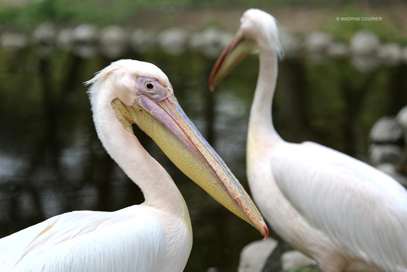 Pelican, pair, lake