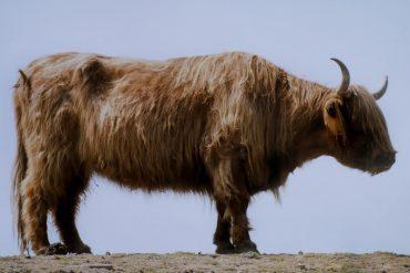 wild, yak,