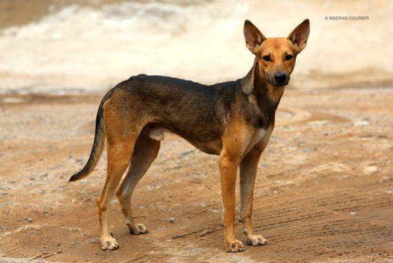 indian_pariah_dog_madras_courier