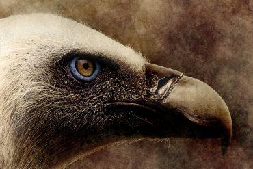 vulture_madras_courier