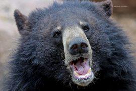 bear_madras_courier