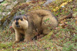 himalayan-marmot-madras-courier